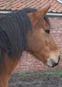 Paard Misty