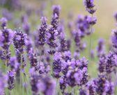Lavendelolie voor je gezondheid