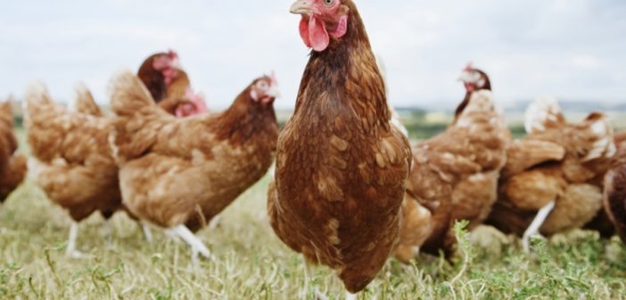 Adopteer een kip