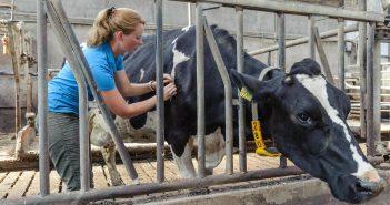 Acupunctuur bij een koe