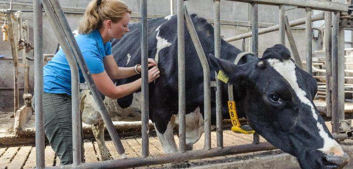 Gezonde koe door een prikkie