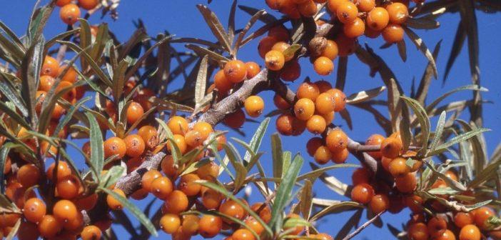 De duindoornbes: de geneeskrachtigste vrucht ooit!