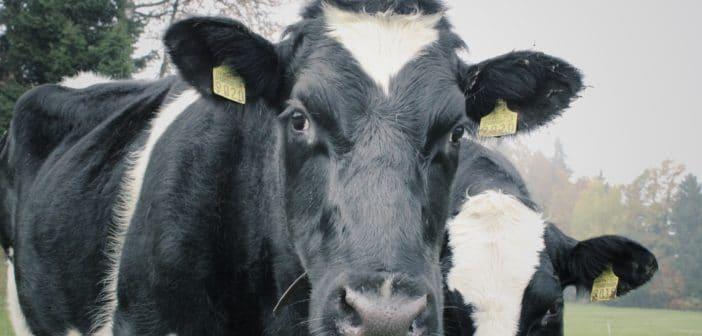 Gras-gevoerde koeien geven betere melk