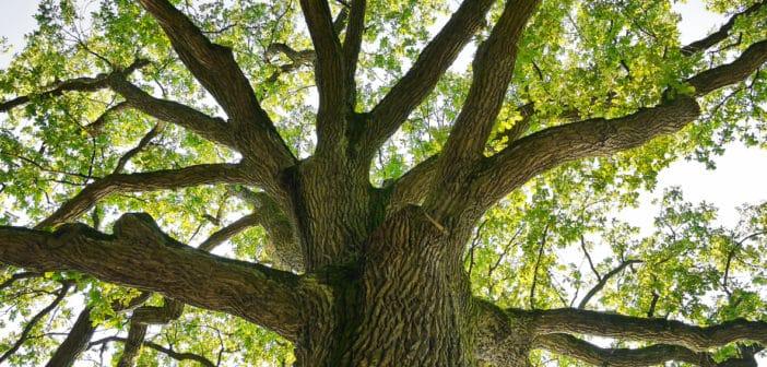 Marry's blik op bomen: Krachtige eik